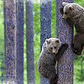 Brown Bear Climbing Lesson by Don Kuing