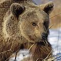 Brown Bear Eating Dry Grasses by Konrad Wothe