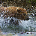 Brown Bear Giving Chase by Dan Friend