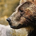 Brown Bear Golden Morning by Dan Sproul
