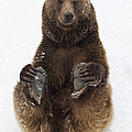 Brown Bear Holding Its Paws Germany by Duncan Usher