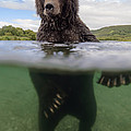 Brown Bear In River Kamchatka Russia by Sergey Gorshkov