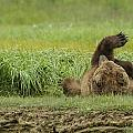 Brown Bear Picture 37 by Bear Images