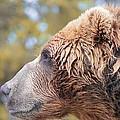 Brown Bear Portrait In Autumn by Dan Sproul