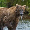 Brown Bear Raising Head Out Of Water by Dan Friend