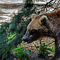 Brown Bear by Skip Willits
