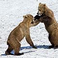 Brown Bear Ursus Arctos Cubs Play by Sergey Gorshkov