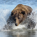 Brown Bear, Ursus Arctos, Fishing by Bob Smith