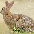 Brown Bunny by Tom York Images