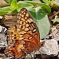 Brown Butterfly by Kim Bemis