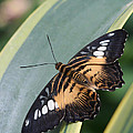 Brown Clipper Butterfly #4 by Judy Whitton