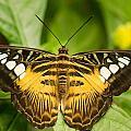 Brown Clipper Butterfly by Doug McPherson