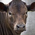 Brown Eyed Boy - Calf Portrait by Ella Kaye Dickey