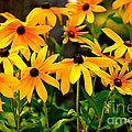 Brown Eyed Susan by Dale Powell