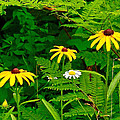 Brown-eyed Susans Along Rivier Du Nord Trail In The Laurentians-quebec by Ruth Hager