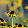 Brown Eyed Susans On Yellow And Green by Photographic Arts And Design Studio