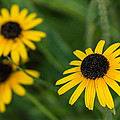 Brown Eyed Susans by Photographic Arts And Design Studio