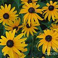 Brown Eyed Susans by Ray Konopaske