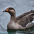 Brown Feathered Goose by Maria Urso
