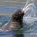 Brown Fur Seal Throwing A Fish Head by Johan Swanepoel