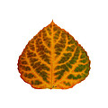 Brown Green Orange And Red Aspen Leaf 1 by Agustin Goba