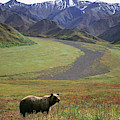 Brown Grizzly Bear In Denali National by Cary Anderson