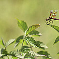 Brown Hawker Dragonfly by Jason Politte