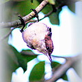 Brown-headed Nuthatch 9173-006 by Travis Truelove