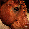 Brown Horse by Andrea Anderegg