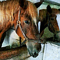 Brown Horse In Stall by Susan Savad