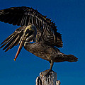 Brown King Pelican by Kristine Patti