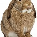 Brown Lop-earred Rabbit Isolated On White by Susan Schmitz