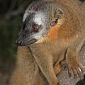 brown Maki Madagascar 2 by Rudi Prott