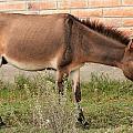 Brown Mule In Cotacachi by Robert Hamm