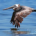 Brown Pelican . by Roger And Michele Hodgson