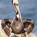 Brown Pelican 3 by Lee Kirchhevel