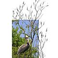 Brown Pelican by Andrew McInnes