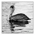 Brown Pelican - Black And White by Carol Groenen