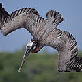 Brown Pelican Diving Academy Bay by Tui De Roy