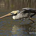 Brown Pelican Fishing Photo by Meg Rousher