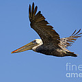 Brown Pelican Flight by Mike  Dawson