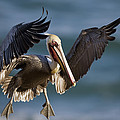 Brown Pelican Flying California by Tom Vezo