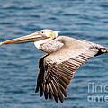 Brown Pelican Flying by Darleen Stry