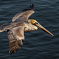 Brown Pelican Flying by Lee Kirchhevel