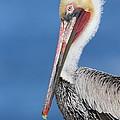 Brown Pelican Head Shot by Bryan Keil