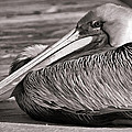 Brown Pelican by HH Photography of Florida
