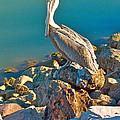 Brown Pelican In San Carlos-sonora by Ruth Hager