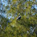 Brown Pelican In The Trees by Denise Mazzocco