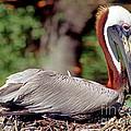 Brown Pelican Incubating Eggs by Millard H. Sharp