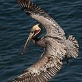 Brown Pelican Landing 2 by Lee Kirchhevel